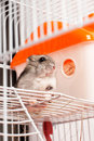 Djungarian hamster in a cage see my other works portfolio Stock Image