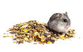 Djungarian hamster eating grains see my other works in portfolio Royalty Free Stock Photo