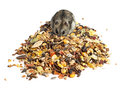 Djungarian hamster eating grains see my other works in portfolio Royalty Free Stock Photography