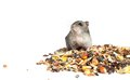 Djungarian hamster eating grains on white background Royalty Free Stock Photos