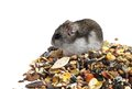 Djungarian hamster eating grains on white background Stock Image