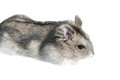 Djungarian hamster isolated on white russian winter dwarf Royalty Free Stock Images