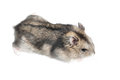 Djungarian hamster isolated on white russian winter dwarf Royalty Free Stock Image