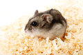 Djungarian hamster in sawdust Royalty Free Stock Photo