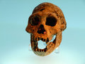 Dmanisi skull discovered in at in georgia in the ex ussr estimated age is million years at around cc this is the smallest and most Stock Photography