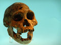 Dmanisi skull discovered in at in georgia in the ex ussr estimated age is million years at around cc this is the smallest and most Royalty Free Stock Images