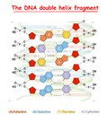 DNA double helix fragment structure: Nucleotide, Phosphate, Sugar, and bases. DNA education info graphic. Royalty Free Stock Photo