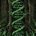 Dna nature symbol as a dark tree forest growing a green vine in the shape of a genetic double helix icon as a metaphor for Royalty Free Stock Photography