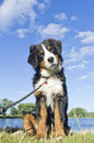 Do you want a treat bernese mountain puppy dog looks at the camera inqusitively Royalty Free Stock Photography