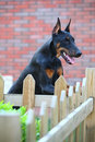 Doberman dog Royalty Free Stock Photo