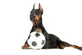 Doberman dog with ball on white background Royalty Free Stock Photo