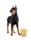 Doberman dog eating food from basket Stock Images