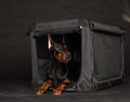Doberman dog near by cage on black background Royalty Free Stock Image