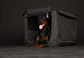 Doberman dog near by cage on black background Stock Photo