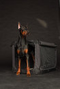 Doberman dog near by cage on black background Stock Image