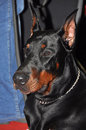 Doberman dog pinschers are the breed is well known as an intelligent alert and loyal companion although once commonly used as Royalty Free Stock Images