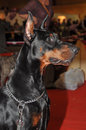 Doberman dog pinschers are the breed is well known as an intelligent alert and loyal companion although once commonly used as Stock Photography