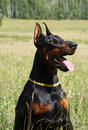 Doberman dog portrait Stock Image