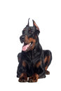 Doberman dog portrait Royalty Free Stock Images
