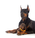 Doberman dog with puppy black on white Royalty Free Stock Photos