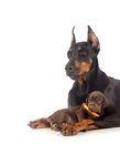 Doberman dog with puppy black on white Stock Images