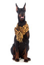 Doberman dog with scarf isolated on white Royalty Free Stock Image