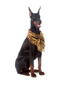 Doberman dog with scarf isolated on white Stock Photo