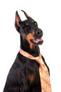Doberman dog in a tie Stock Photos