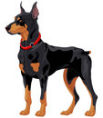 Doberman guard dog illustration of fully concentrated Stock Photo