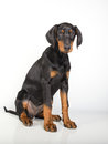 Doberman pincher puppy studio portrait of a on white background Royalty Free Stock Photo