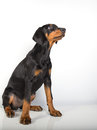 Doberman pincher puppy studio portrait of a on white background Stock Photography
