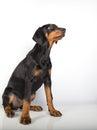 Doberman pincher puppy studio portrait of a on white background Stock Photography