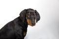 Doberman pincher puppy studio portrait of a on white background Stock Photos