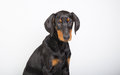 Doberman pincher puppy studio portrait of a on white background Stock Photo