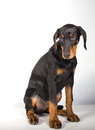 Doberman pincher puppy studio portrait of a on white background Stock Image