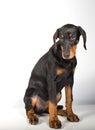 Doberman pincher puppy studio portrait of a on white background Stock Image