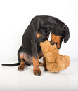 Doberman pincher puppy studio portrait of a on white background Royalty Free Stock Images