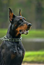 The Doberman Pinscher Stock Photography
