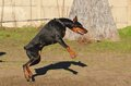 Doberman Pinscher dog Royalty Free Stock Photo