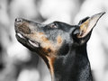 Doberman Pinscher portrait Stock Photography