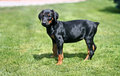 Doberman pinscher puppy on the grass Stock Images
