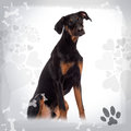 Doberman Pinscher puppy sitting, 6 months old Stock Photo