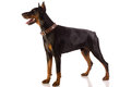 Doberman pinscher sitting on white background great dog Stock Photography