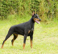 Doberman pinscher a young beautiful black and tan standing on the lawn while sticking its tongue out and looking happy and playful Royalty Free Stock Photography