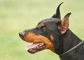 Doberman portrait Royalty Free Stock Photo