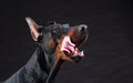 Doberman portrait on black dog background Stock Photography