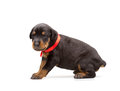 Doberman puppy in red ribbon isolated on white Stock Photo