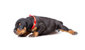 Doberman puppy in red ribbon isolated on white Stock Images