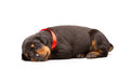 Doberman puppy in red ribbon isolated on white Royalty Free Stock Photography