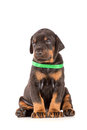 Doberman puppy sitting on white Royalty Free Stock Images